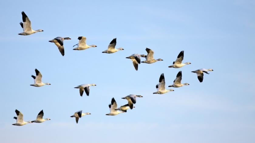 Студија: птице станарице такође користе Земљино магнетно поље за оријентацију