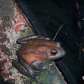 California Red-Legged Frog (<i>Rana draytonii</i>)