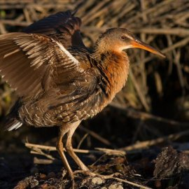 Light-Footed Ridgway's Rail (<i>Rallus longirostris levipes</i>)