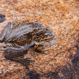 Sierra Nevada Yellow-Legged Frog (<i>Rana sierrae</i>)
