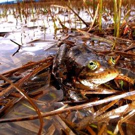 Oregon Spotted Frog (<i>Rana pretiosa</i>)