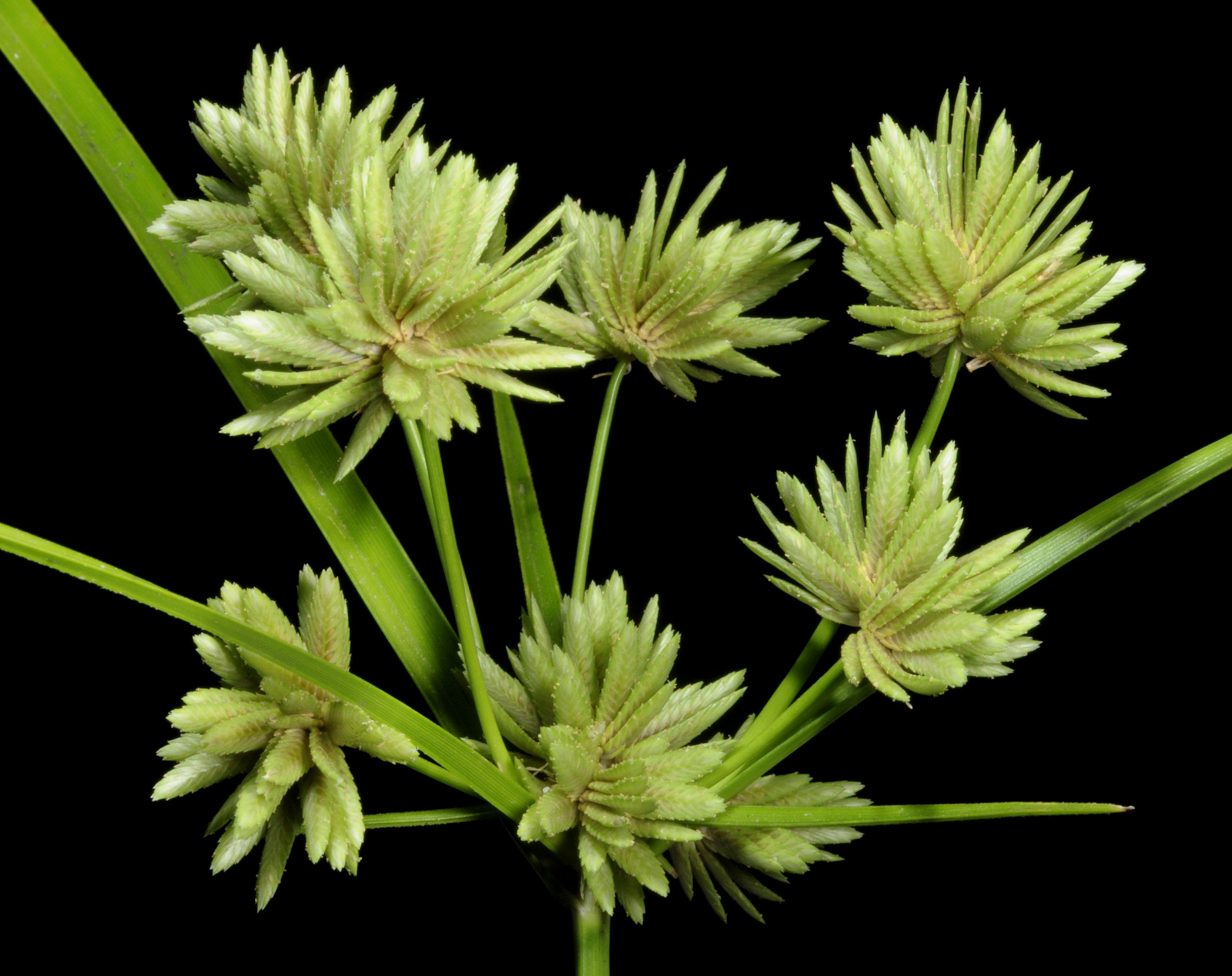 <i>Cyperus eragrostis</i> – Umbrella Sedge