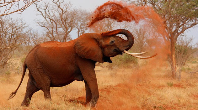 Os animais da África. Elefante africano