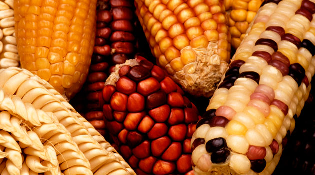 Transgênicos - milho