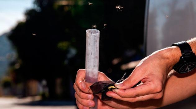 Mosquitos aliados contra a dengue