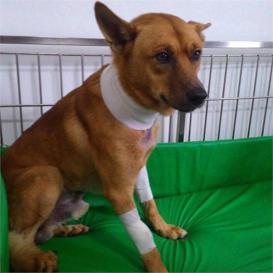 Lobinho, cão covardemente ferido em Santos. Crédito: oliberalnet,com.br