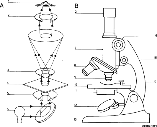 Compound Light Microscope Parts Drawing