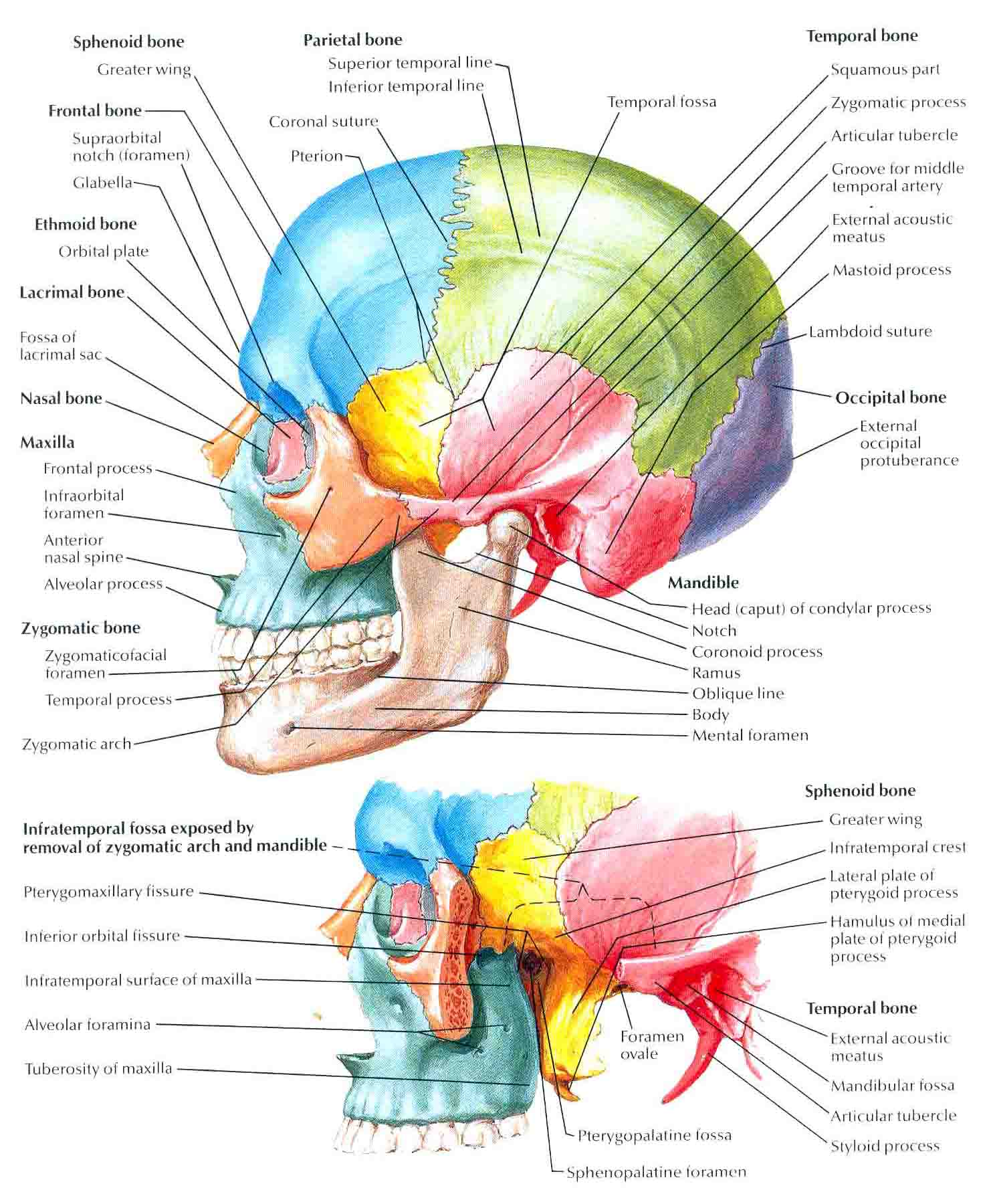 lateral view skull sutures diagram 24 volt truck alternator wiring labeled biology forums gallery