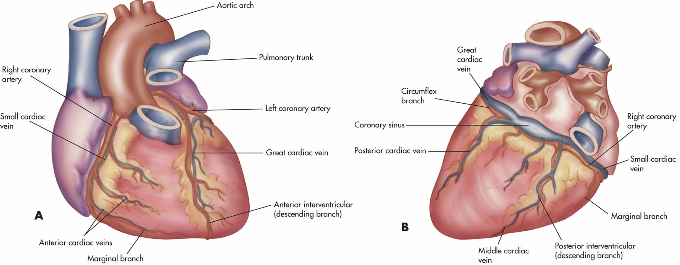 coronary anatomy diagram nissan navara d40 central locking wiring circulation