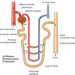 Nephron Diagram From A Textbook Ford 1g Alternator Wiring Absorption Not Lossing