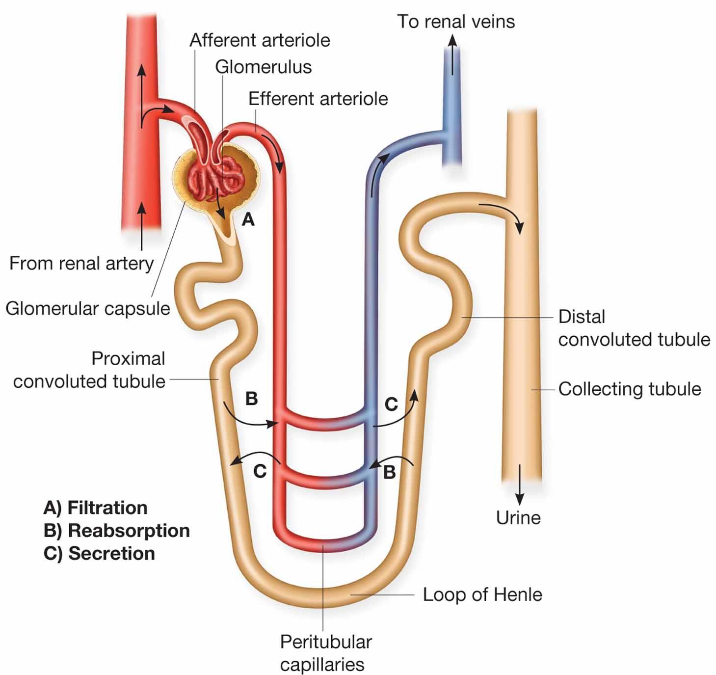 hight resolution of tubular reabsorption and tubular secretion