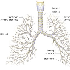 Branches Branching Tree Diagram Nema 14 50r Wiring The Bronchial Note How Each Main Bronchus Enters A
