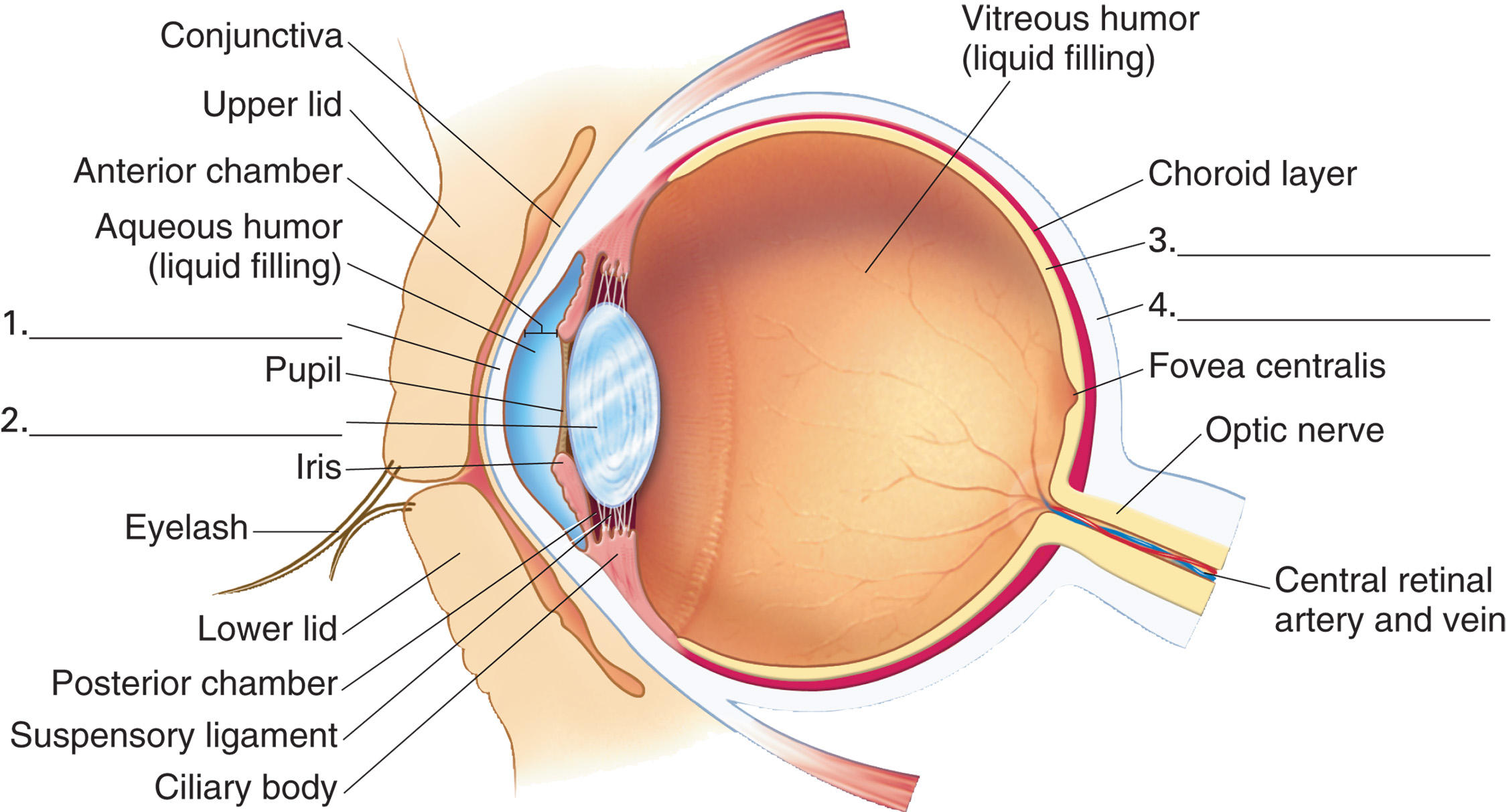 conjunctiva human eye anatomy diagram fuzz face wiring the lateral view of a sectioned eyeball in its socket
