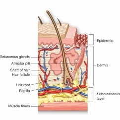 Skin Cross Section Diagram Three Phase Star Delta Wiring Of And A Hair Follicle Note The Shaft