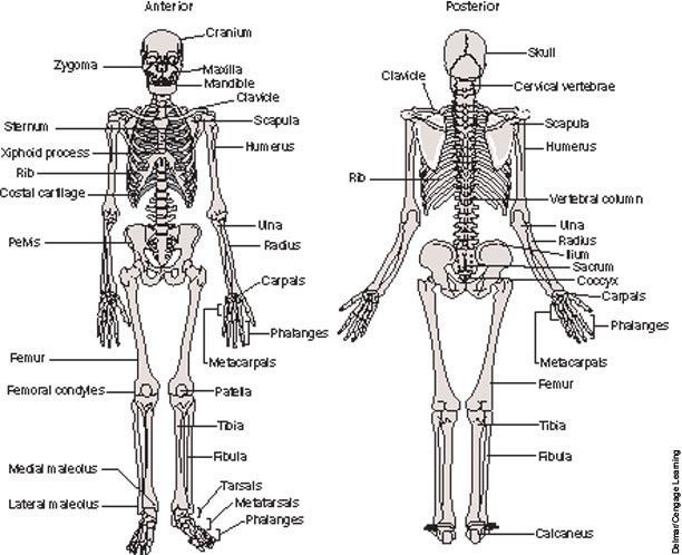 Anterior and posterior views of the adult human skeleton