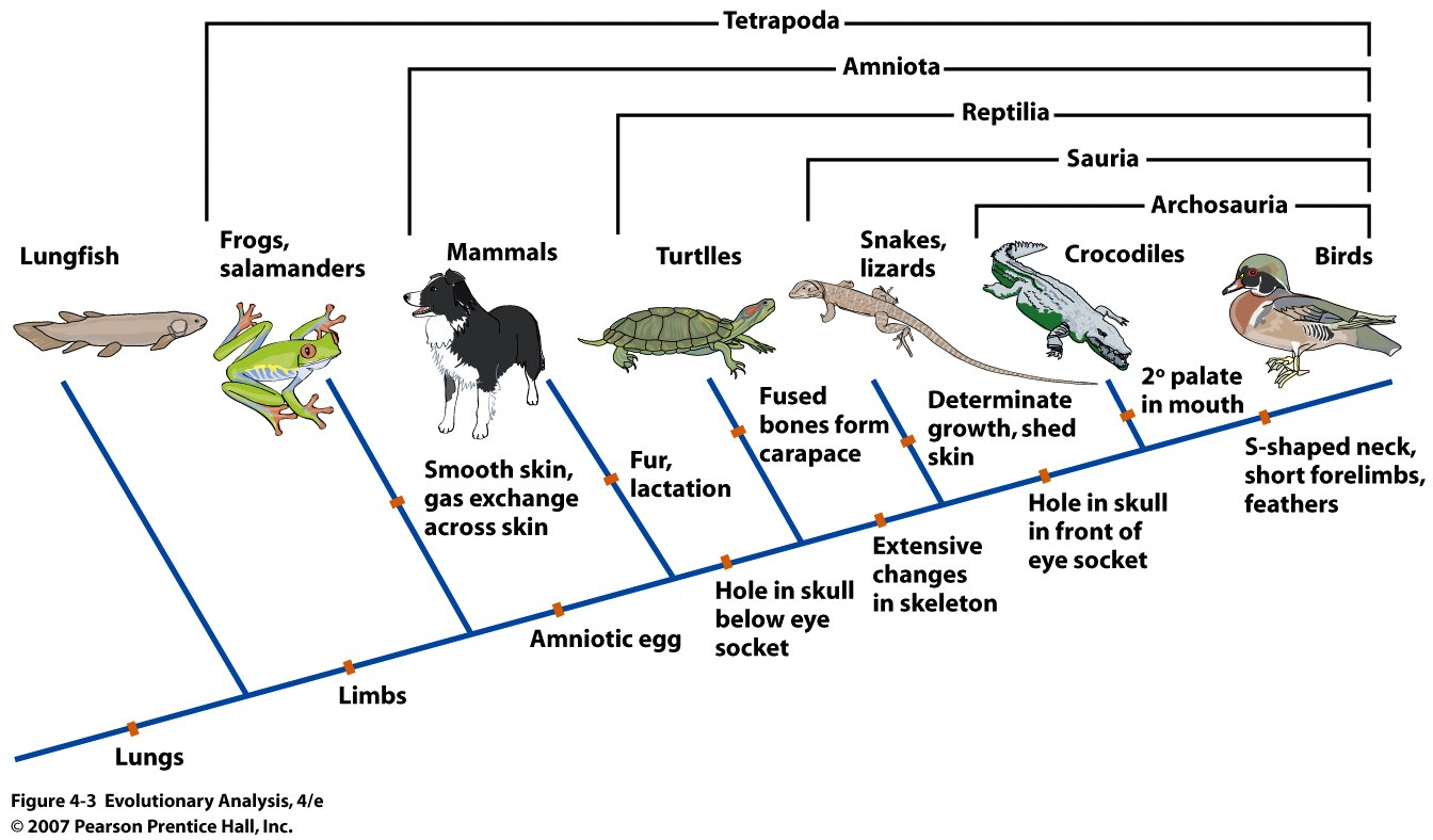 Synapomorphies Reveal The Relationships Among Tetrapods