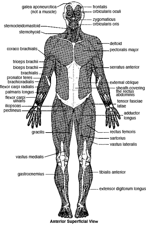 The major skeletal muscles—anterior superficial view