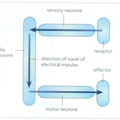 Diagram Of A Simple Reflex Arc Motorcycle Electrical Wiring Thread Biology Notes For Igcse 2014