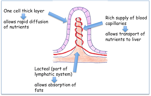 animal respiration simple diagram wiring for a light switch functions of lymphatic system - biology notes igcse 2014