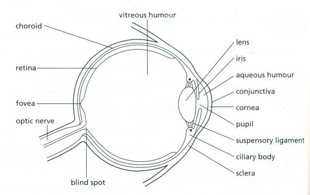 rods eye diagram
