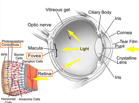 The Eye Rods And Cones Biology Notes For IGCSE 2014