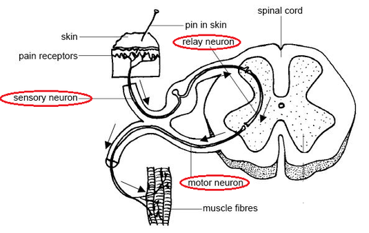 diagram of a simple reflex arc 69 mustang alternator wiring biology notes for igcse 2014