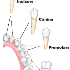 Tooth Diagram With Label 1980 Jeep Cj7 Wiring Human Teeth And Dental Decay - Biology Notes For Igcse 2014