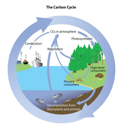 the carbon cycle diagram gcse online database water cycles biology notes for igcse 2014