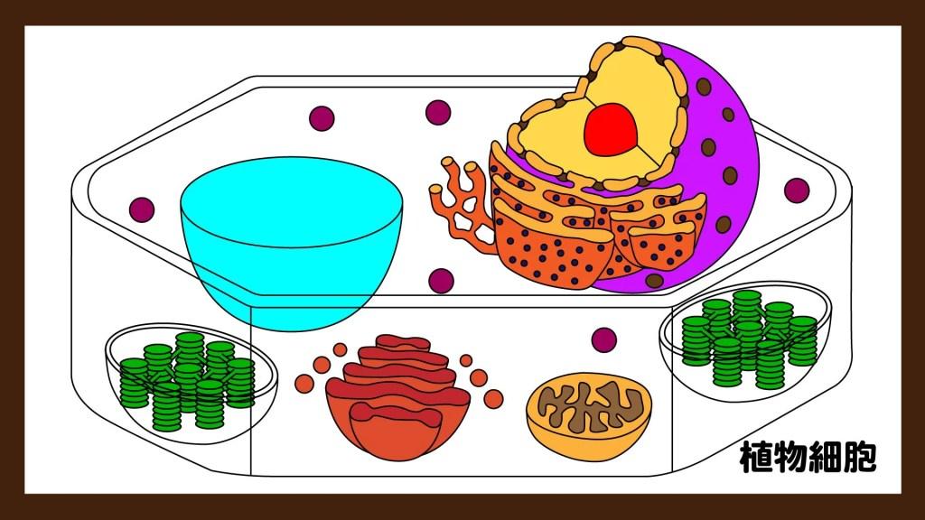 高校生物版の植物細胞の断面図