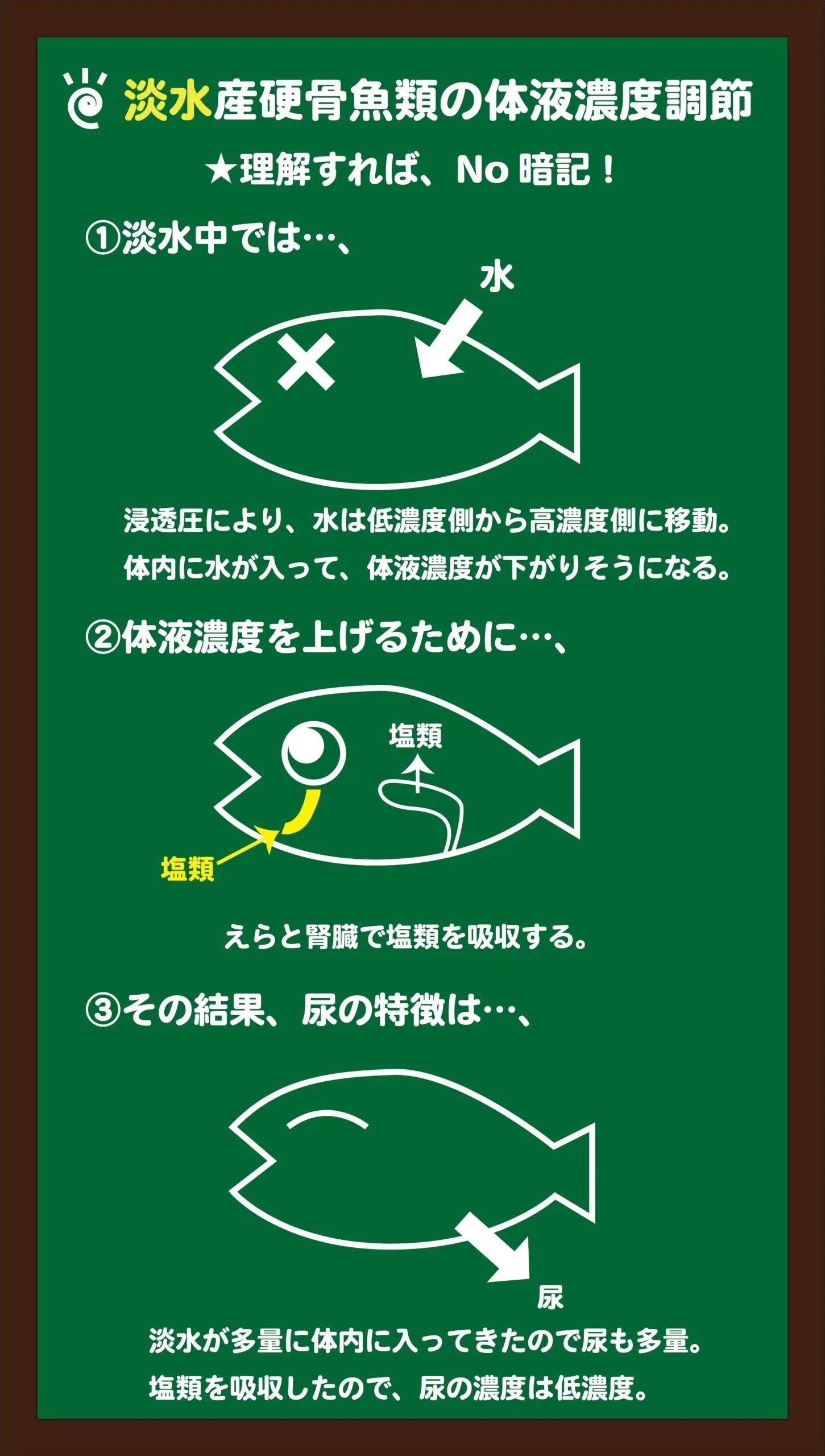 スライド4:淡水魚の体液濃度調節のしくみをイメージする