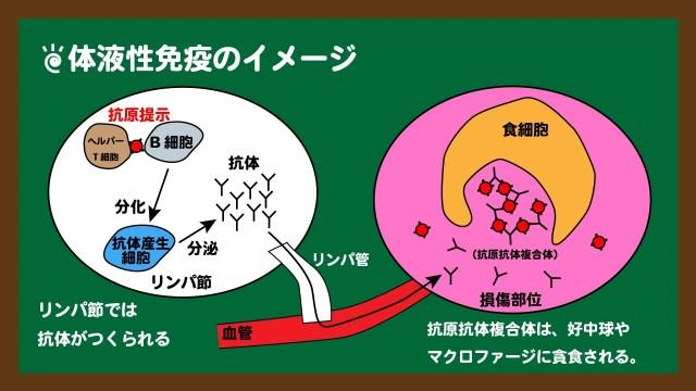 スライド11:体液性免疫のイメージ