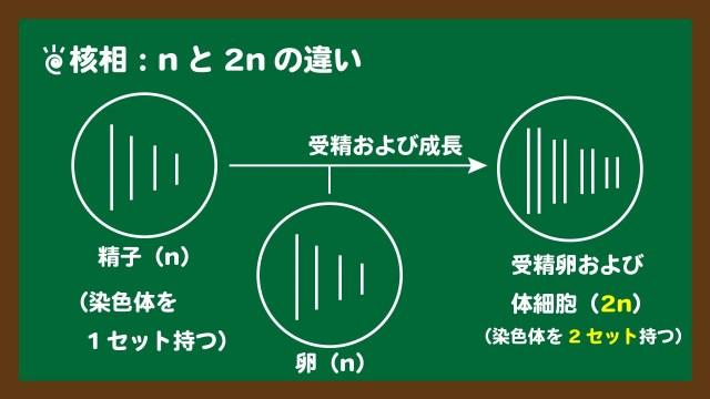 スライド6:核相とは?2nとnの違い