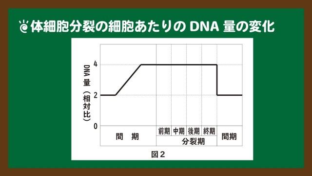 スライド9:体細胞分裂の細胞あたりのDNA量の変化