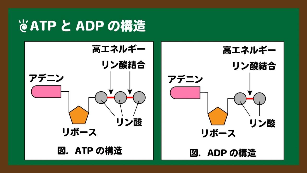 図.ATPとADPの構造