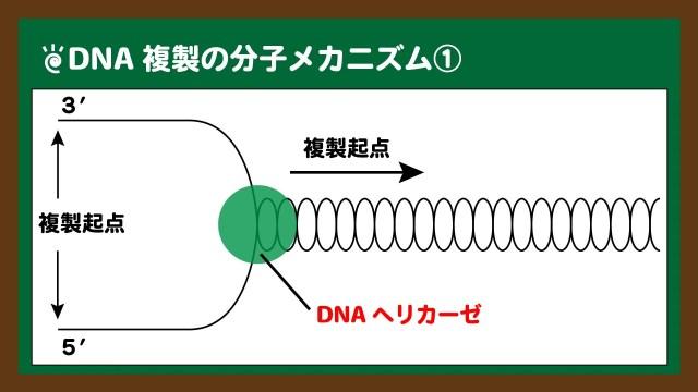 図.DNAヘリカーゼによるDNAの開裂