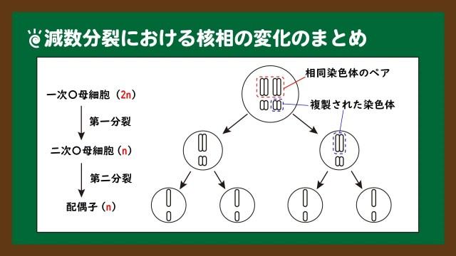 スライド8:減数分裂における染色体の挙動
