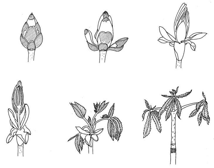 Biological Drawing of Stages in Growth of Horse-chestnut