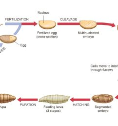 descriptive diagram of drosophila life cycle [ 1608 x 860 Pixel ]
