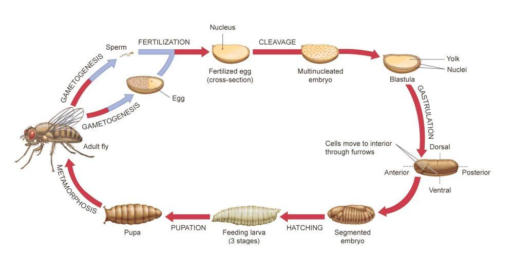 medium resolution of descriptive diagram of drosophila life cycle