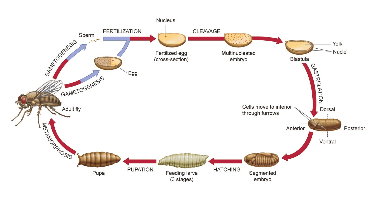 hight resolution of descriptive diagram of drosophila life cycle