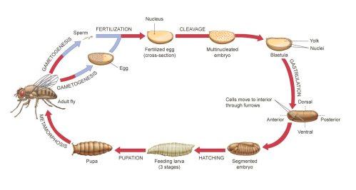 small resolution of descriptive diagram of drosophila life cycle