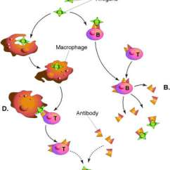 Diagram Of How Vaccines Work Honda Zoomer Wiring What Are Dna Live Attenuated Stimulate Protective Immune Responses When They Replicate In The Host Viral Proteins Produced Within Released