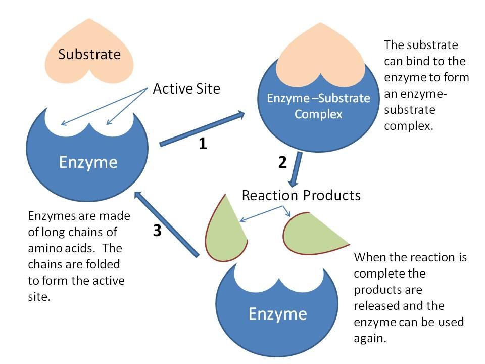 3.6 Enzymes - BIOLOGY4IBDP