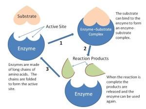 36 Enzymes  BIOLOGY4IBDP
