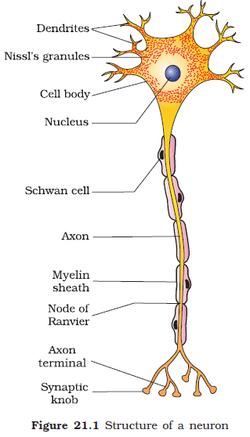 Nervous system  BIOLOGY4ISC