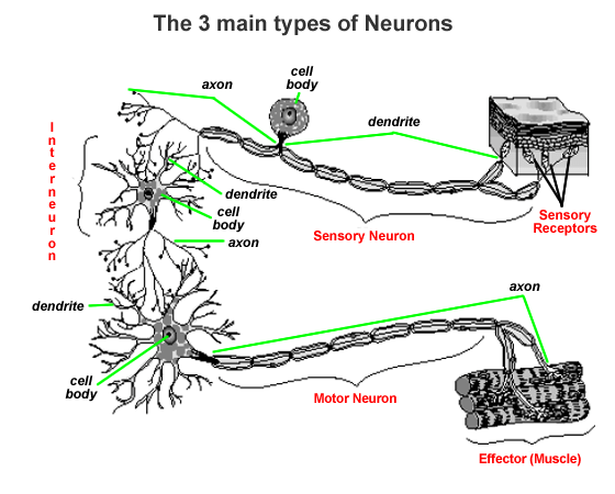 blank nerve diagram mercruiser alpha one outdrive parts nervous system - biology4isc