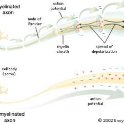 Excretory System Diagram Basic Vauxhall Vectra C Towbar Wiring Nervous - Biology4isc