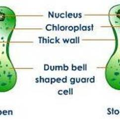 Excretory System Diagram Basic Pj Trailers Wiring Transpiration - Biology4isc