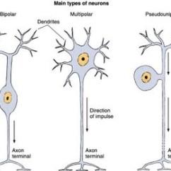 Label Heart Diagram Worksheet Answers Suzuki Eiger Wiring Nervous System - Biology4isc