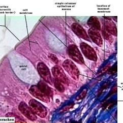 Stratified Columnar Epithelium Diagram 1987 Yamaha Warrior 350 Wiring Animal Tissues - Biology4isc